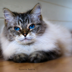 Shilo the Ragdoll
