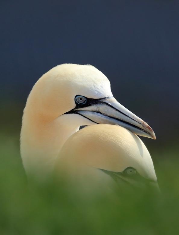 Jan van Gent - Prachtige vogels vind ik het. Jan van Gent op Helgoland.