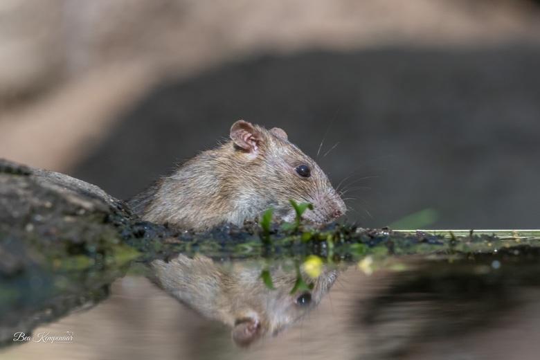 Bruine rat - Bruine rat