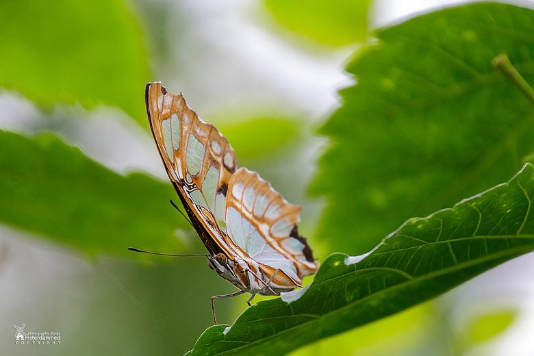 Vlinders aan de Vliet - De malachietvlinder (Siproeta stelenes) vlinderr in een vlindertuin in Leidschendam.
