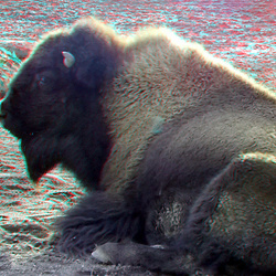 Bison Blijdorp Zoo 3D anaglyph
