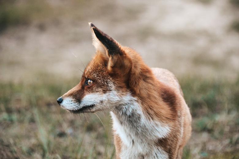 Vos in focus - Een nieuwsgierig jong vosje in de Amsterdamse Waterleidingduinen.