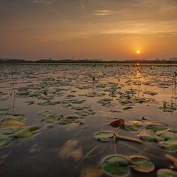 Sunrise Lily Pads
