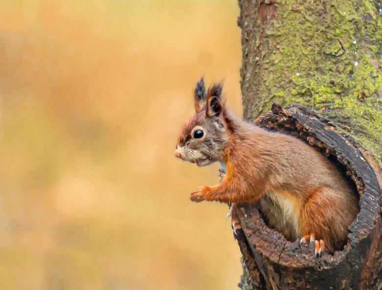 Coming out - Ze zijn zo leuk die eekhoorntjes. Daarom nog maar een keer een eekhoorntje. Foto genomen  vanuit de vogelhut in Espelo.