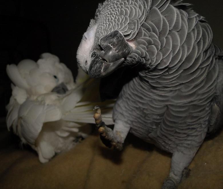 Mijn grijze roodstaart papegaai alex doet gek maxi poetst haar veren