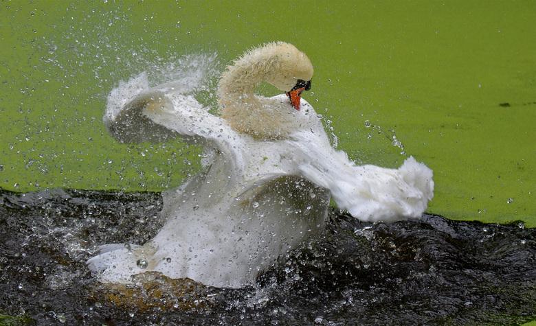 Dansende zwaan! - Zwaan neemt een kroosbad!