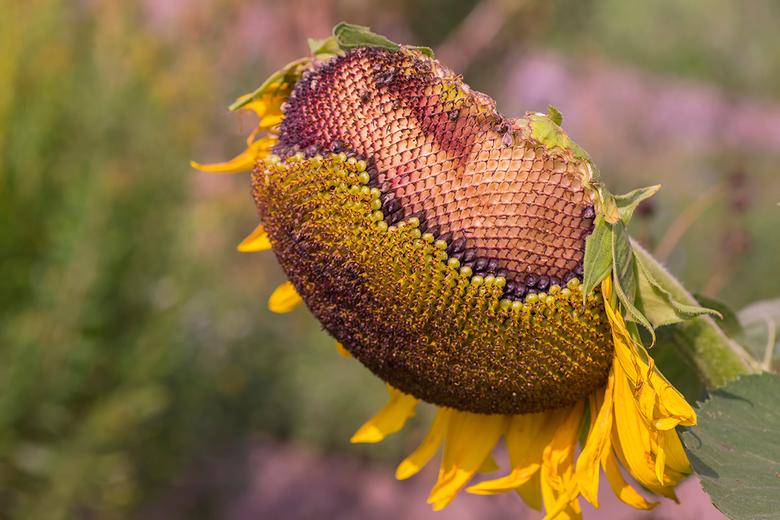 My inner beauty 1 - Opname van een uitgebloeide zonnebloem.<br /> Inzending voor de fotowedstrijd puur natuur.