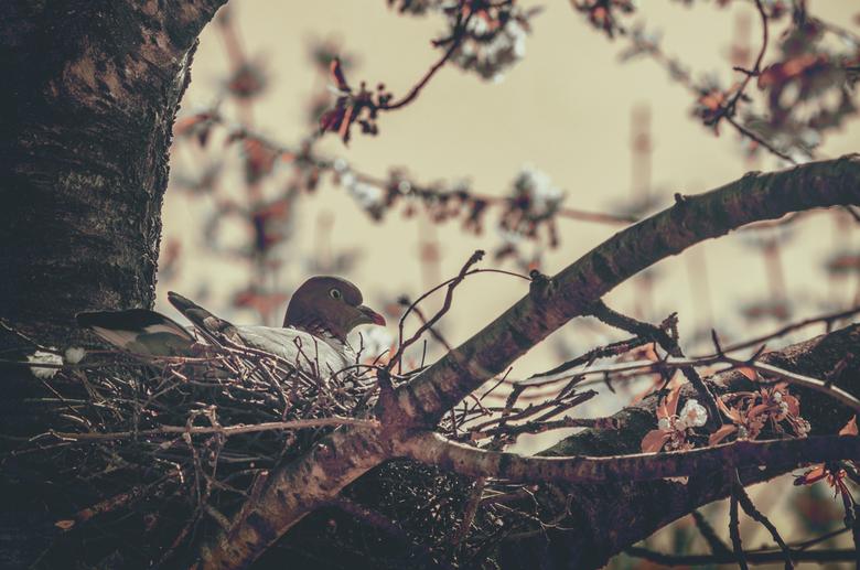 Golden pidgeon