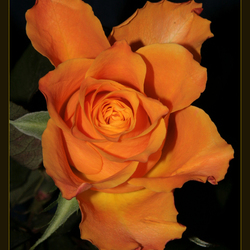 roosje mijn  roosje