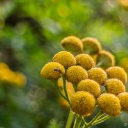 gele bloemen met mier