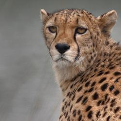 Cheetah aan het water