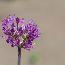 Ontluikende Allium