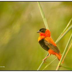 Oranje wever