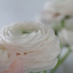 ranonkels in bloei