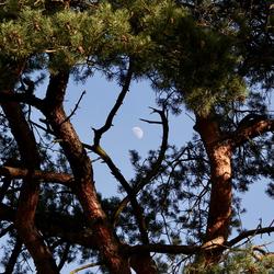 de maan door de bomen