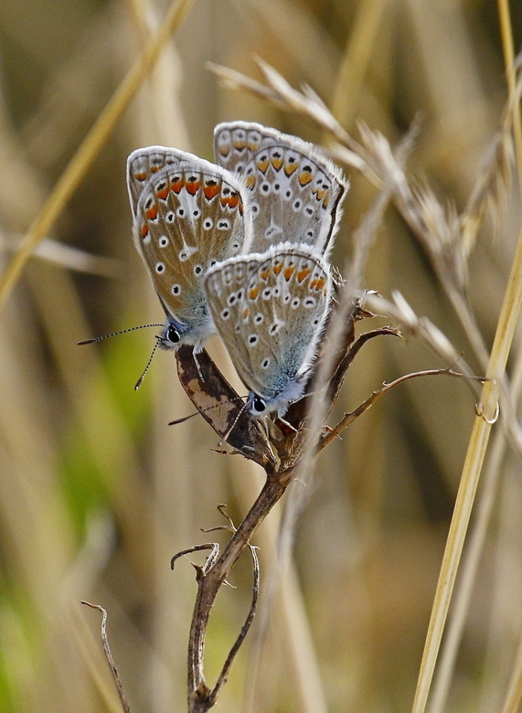 Icarusblauwtjes -