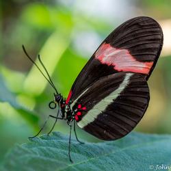 Heliconius cydno Passiebloemvlinder