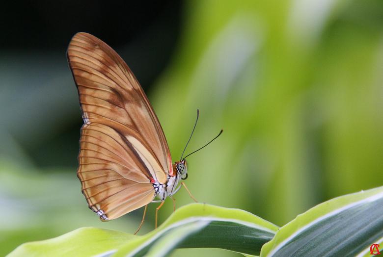 Dryas Julia - De oranje passiebloem vlinder is een<br /> opvallende dagvlinder, die voorkomt<br /> in Zuid en Midden- Amerika