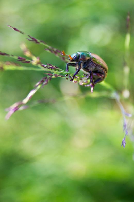 Beetle in green - Tijdens een bergwandeling in Italie kwam ik dit glinsterende beestje tegen.. Hij viel zo erg op dat hij wel op de foto moest!