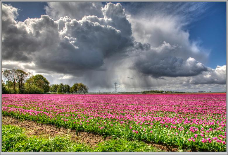 laatste bollen in de regen  - erg wisselende omstandigheden vandaag in de polder en daardoor erg mooi. de meeste bollen zijn al getopt een enkel veld