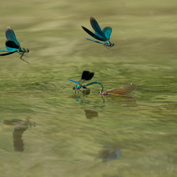 Demoiselle action.