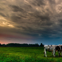 koeien met zonsopkomst