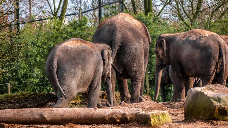De rug toe keren - Olifanten in Blijdorp