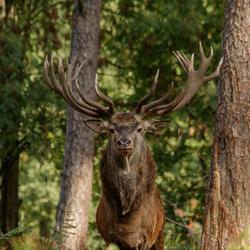 Koning van het bos