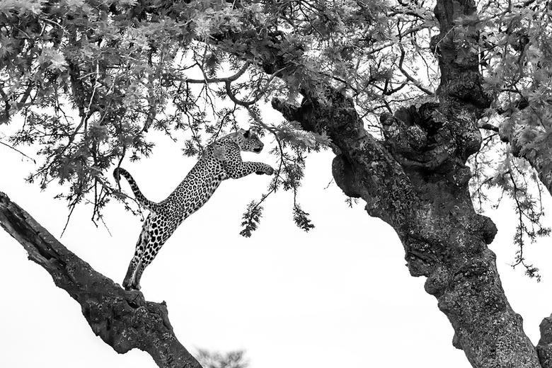 Jump - Luipaard in Serengeti NP Tanzania