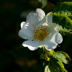 Rosa hybriden