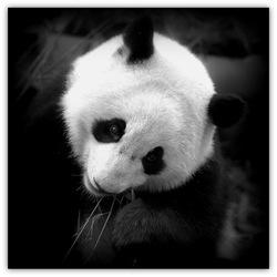 Cute Panda...