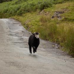 Black sheep on the run