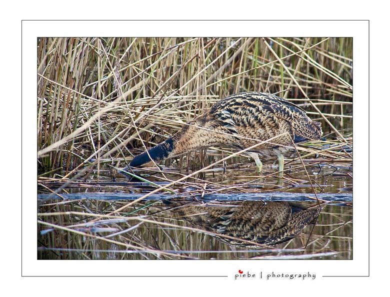 Roerdomp - Zaterdag 13-02-2010 heb ik enkele uren in een vogelhut gezeten. Een tweetal roerdompen waren goed te volgen. Deze is op zoek naar voedsel.