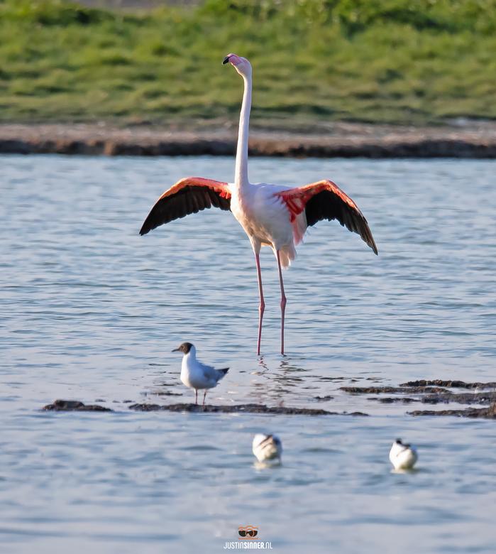 """Flamingo op Texel. - De """"Texelse"""" Flamingo liet zich aan het begin van de avond prachtig vastleggen, klaar om een buiging te maken, wat een"""