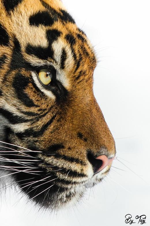 """Tijger en profile  - Sumatraanse tijger &#039;en profile&#039;. Het had gesneeuwd. Vandaar de witte acgtergrond. <img  src=""""/images/smileys/wilt.png""""/"""
