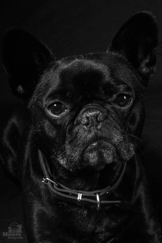 """Hugo de Franse Bulldog - Nog een foto van m'n test met de """"thuisstudio"""". Mn knappe Franse Bulldog voor de lens. Gemaakt met een Canon 7"""