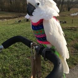 Mijn Witkuifkaketoe Maxi tijdens wandeling over Grebbedijk, Za. 24-3-2018.