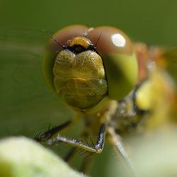 Close-up Heidelibel.