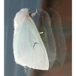 Zwarte-L-Vlinder