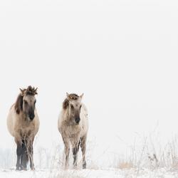 Koniks paarden in de sneeuw