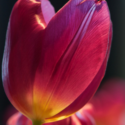 Still a beautiful tulip