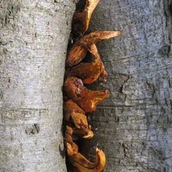 groeit patat uit een boom???