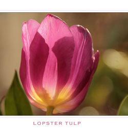 Lopster Tulp