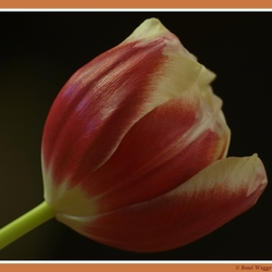 Tulp in het donker