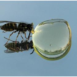 Wesp eet honing