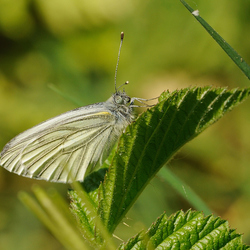 Vlinder Appelzak