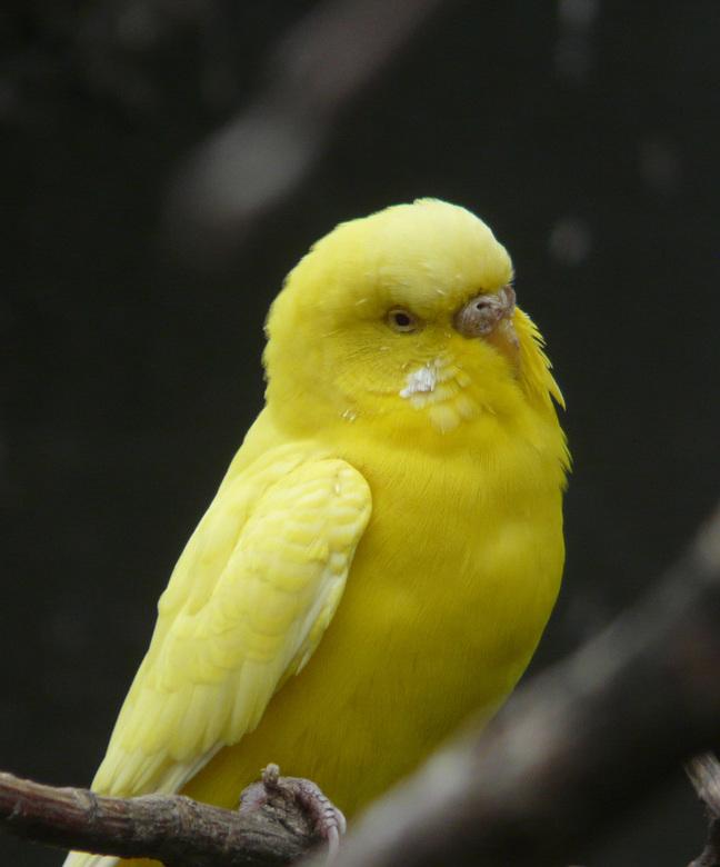Gele parkiet - Of is het een kanarie ?<br /> ik vondt echter de kleur er wel zo mooi afsteken tegen de donkere achtergrond.<br />
