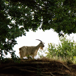 uitkijkpost, van de geit