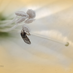 zweefvliegje in een bloem