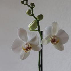 Stilleven orchidee